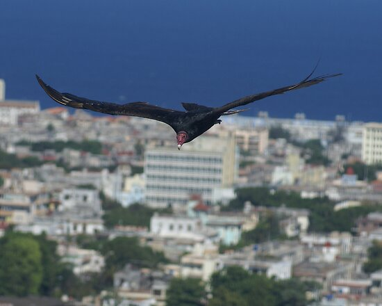 Cuban Turkey Vulture by Nigel Roulston