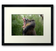 Mandrill at Melbourne Zoo III Framed Print