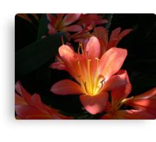 Sunlight Strikes an Orange Clivia Miniata  Canvas Print