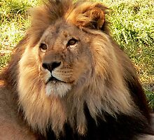 Lion II  by Tom Newman