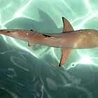 Black Tipped Reef Shark by barryohara1