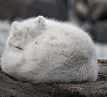 Artic Fox by Geoffrey