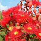 Red Flowering Gum by Catherine Davis