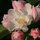 Blossoming Apple Blossom by Holly Cawfield