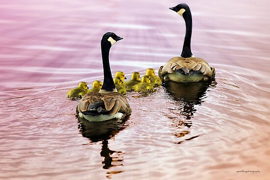 Going Home for the Night (Canada Geese) by Yannik Hay