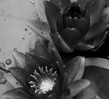Black and White Waterlillies by trittium