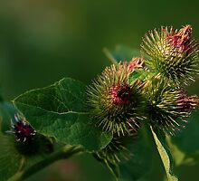 Blooming Burrs (Burdock) by Holly Cawfield