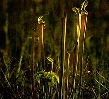 Pitcher Plants Plus by Jonicool