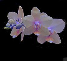 Glowing Orchids by Dennis Rubin IPA