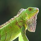 Green iguana by Larissa Brea