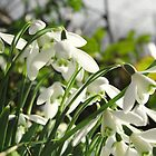 Snowdrops  by Rob Hawkins