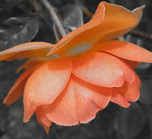 Peach Rose by cazohagan
