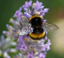 My Bumble Bee by Mark Bilham