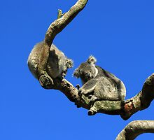 Mr & Mrs Koala  by Vinod Vijayan