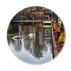 Swans in the round by greyrose