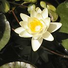 water lily by Holly Martinson
