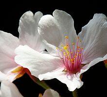 Spring Blossom by Bobby McLeod