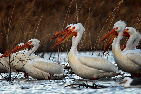 Pelicans - Saratoga Springs, Utah by Ryan Houston
