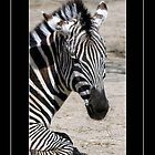 Zebra by Kate Adams