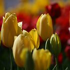 Tulips by gisondan