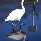 Mute swan reading 'Danger Thin Ice ' sign by Linda More