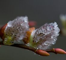 Pussy Willow by EvaMcDermott