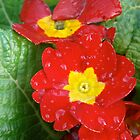 Rainkissed Primulas by ScarlettRose