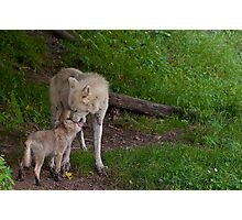 Arctic Wolf And Pup Photographic Print