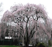 Magnificent Weeping Cherry (2) by LavenderMoon