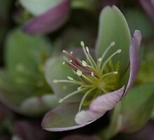Purple Hellebore by orchiddesign