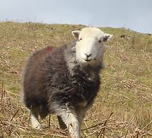 Herdwick Sheep by leelee