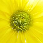 Dreamy Yellow Daisy by hummingbirds