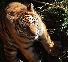 Sitting tiger by PBohm
