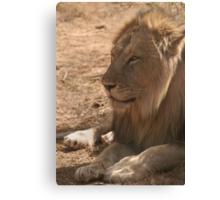 Resting Lion Canvas Print