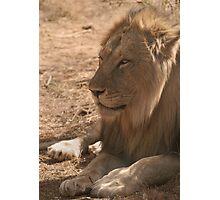 Resting Lion Photographic Print