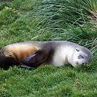 Sleepy Seal by John Douglas