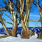Alpine snowgum trio in winter by Speedy