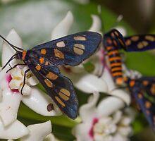 Hoya australis with native Tiger Moths by Maree  McCarthy