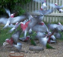Galahs In Flight by MaverickPrints