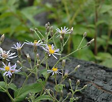 Large-Leaved Aster Amongst Burnt Forest by pjwuebker