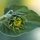 Sunflower/Sonneblom, Free State, South Africa by Qnita