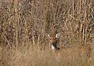 Spotted Deer by Steve Bulford