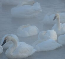 SWANS IN MORNING FOG (Cygnus buccinator) by pjwuebker