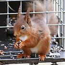 Squirrel on a Grey trap by Rich Gale