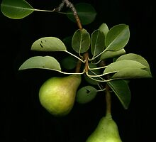 Quarry Hill Collection  Pears by Quarryhill