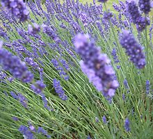 Lavender by Hides
