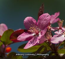 Pink Tree Blossom by BLaskowsky