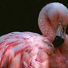 Preening Flamingo by Linda More