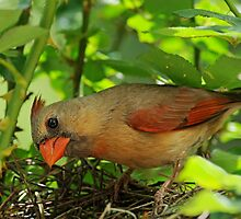 Mrs. Cardinal enters the nest by Bonnie T.  Barry