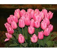 """Pink Tulips"" Photographic Print"